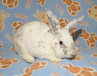 Chinchilla, Standard Mix for adoption in Chesterfield, Missouri - Ebbtide