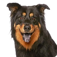 Australian Shepherd Mix Dog for adoption in Los Angeles, California - Logan