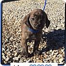 Adopt A Pet :: Alex (Pom)