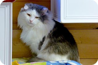 Maine Coon Cat for adoption in Waxhaw, North Carolina - Potter