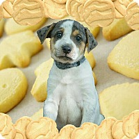 Adopt A Pet :: Shortbread - Austin, TX