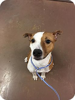 Jack Russell Terrier Mix Dog for adoption in Chicago, Illinois - Jillian