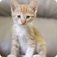 Adopt A Pet :: Kitten 2 - Houston, TX
