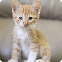 Domestic Shorthair Kitten for adoption in Houston, Texas - Kitten 2