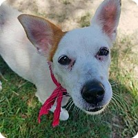 Jack Russell Terrier Dog for adoption in Freeport, Florida - Daisy Pearl