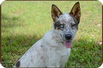 Beagle/Australian Cattle Dog Mix Puppy for adoption in Brick, New Jersey - Jessie