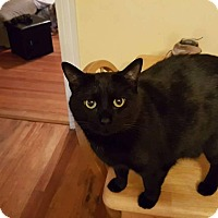 Domestic Shorthair Cat for adoption in Waldorf, Maryland - Athena
