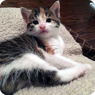 Domestic Shorthair Kitten for adoption in Mississauga, Ontario, Ontario - Faire