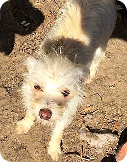 Cairn Terrier/Maltese Mix Dog for adoption in Normal, Illinois - Samantha