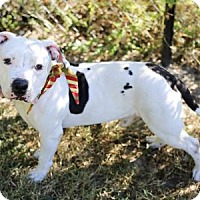 Adopt A Pet :: Stitch - Lakeland, FL