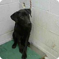 Adopt A Pet :: SUAVE - Atlanta, GA
