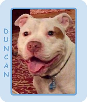 American Bulldog/Bulldog Mix Dog for adoption in Dallas, North Carolina - DUNCAN