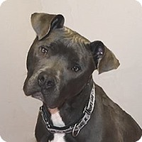 American Pit Bull Terrier/Great Dane Mix Dog for adoption in Farmington Hills, Michigan - Aspen