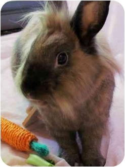 Lionhead for adoption in Huntsville, Alabama - Ben