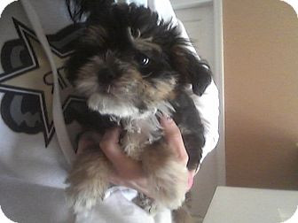 brussels griffon shih tzu mix turbo adopted puppy algonquin il brussels griffon 1175