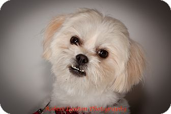 Shih Tzu/Maltese Mix Dog for adoption in Eden Prairie, Minnesota - Toby