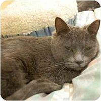 Domestic Shorthair Cat for adoption in Denver, Colorado - Nancy
