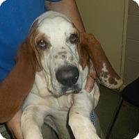 Adopt A Pet :: Olaf - Northport, AL