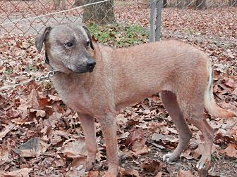 Labrador Retriever Mix Dog for adoption in Capon Bridge, West Virginia - Duckie