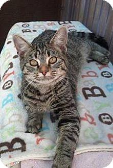 Domestic Shorthair Cat for adoption in Calimesa, California - Rose