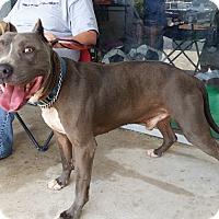 Pit Bull Terrier Dog for adoption in Seguin, Texas - Kane