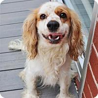 Adopt A Pet :: Opie - Smyrna, GA