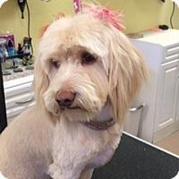 Adopt A Pet :: Ann - Las Vegas, NV
