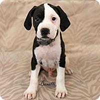 Adopt A Pet :: Benelli - Needs Foster - Bloomington, MN
