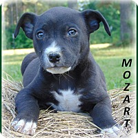 Adopt A Pet :: Mozart - Marlborough, MA