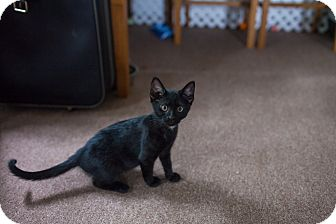 Domestic Shorthair Kitten for adoption in Statesville, North Carolina - Ryder