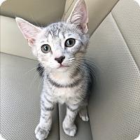 Adopt A Pet :: Clove (ETAA) - Brattleboro, VT
