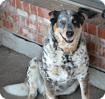 Australian Cattle Dog Dog for adoption in Quinlan, Texas - COOKIE