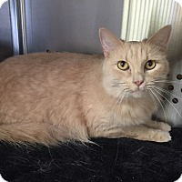 Domestic Mediumhair Cat for adoption in Mansfield, Texas - Blondie