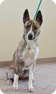 Basenji Dog for adoption in Boston, Massachusetts - Betty