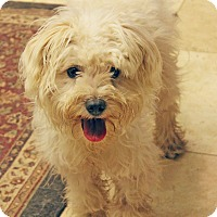 Adopt A Pet :: ROXI - WILL STEAL YOUR HEART - Plano, TX