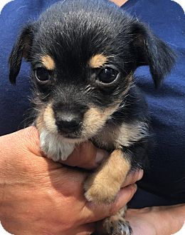 Terrier (Unknown Type, Small)/Chihuahua Mix Puppy for adoption in Fort Atkinson, Wisconsin - Zsa Zsa