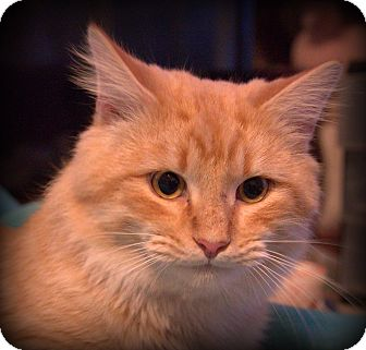 Maine Coon Cat for adoption in Staunton, Virginia - Charlie