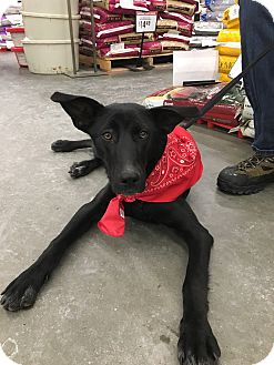 Labrador Retriever Mix Dog for adoption in Patterson, New York - Samantha