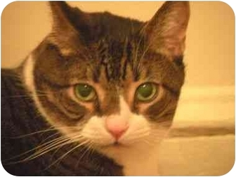 Domestic Shorthair Cat for adoption in Howell, New Jersey - Chunky
