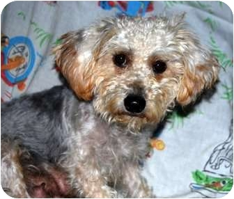 Yorkie, Yorkshire Terrier/Poodle (Miniature) Mix Dog for adoption in Broomfield, Colorado - Marmee