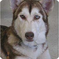 Adopt A Pet :: Sage - Clearwater, FL