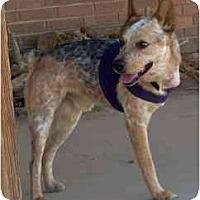 Adopt A Pet :: Timmy Tripod - Phoenix, AZ