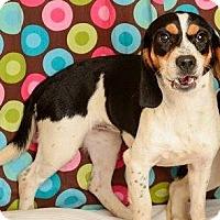 Beagle Dog for adoption in Baton Rouge, Louisiana - Scarlet