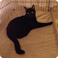 Domestic Shorthair Cat for adoption in Newark, Delaware - Vladimir