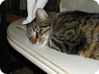 Domestic Shorthair Cat for adoption in Bonita Springs, Florida - Harry