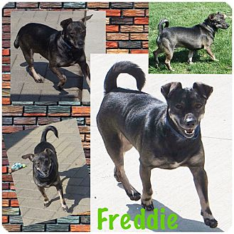 Manchester Terrier Mix Dog for adoption in Fort Wayne, Indiana - Freddie