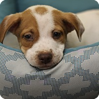 Adopt A Pet :: Spot - Waldorf, MD