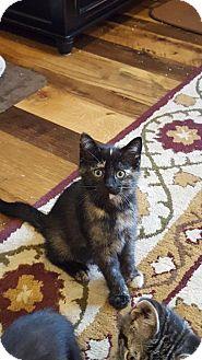 Domestic Shorthair Kitten for adoption in Warren, Michigan - Dior