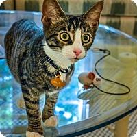 Adopt A Pet :: Bass (from the 'Shoe' litter) - Alexandria, VA