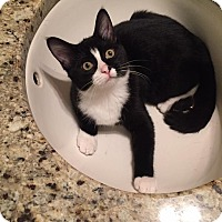Domestic Shorthair Kitten for adoption in Frankfort, Illinois - Ralphie